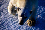 Nanuk: Polar Bear, Ursus Maritimus seen from the deck of the Arctic Sunrise in Kane Basin, North west Greenland.  The bear's curiosity drew the ship while it was stationary, in sea ice, just after midnight on Sunday morning.  It came very close to the ship, and even looked like it thought about trying to scale the side of the vessel, before playfully rolling about on the ice..This was fifth of six polar bears seen by the crew in the last few weeks. .The Greenpeace ship has been in the area for over a month, carrying out scientific research and bearing witness to the effects of climate change on the Arctic.