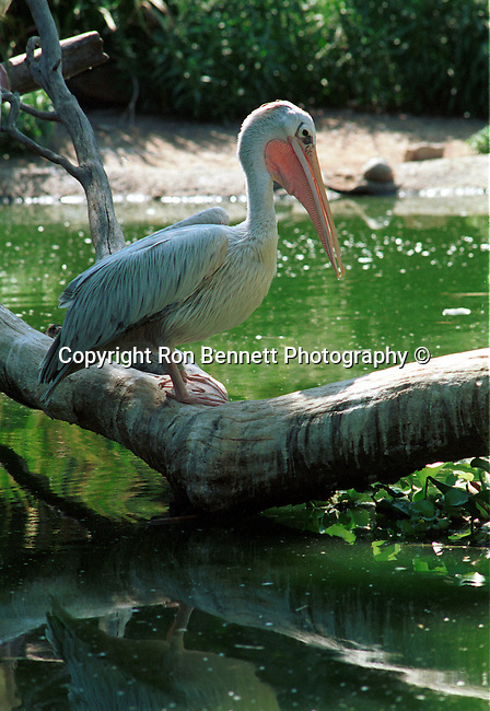 Pelican is large water bird with pouch under beak Pelecanidae,  California Fine Art Photography by Ron Bennett, Fine Art Photography by Ron Bennett, Fine Art, Fine Art photography, Art Photography, Copyright RonBennettPhotography.com ©