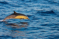 This common dolphin, Delphinus delphis, was one in a school of over 1000 in the Pacific Ocean, off Mexico.