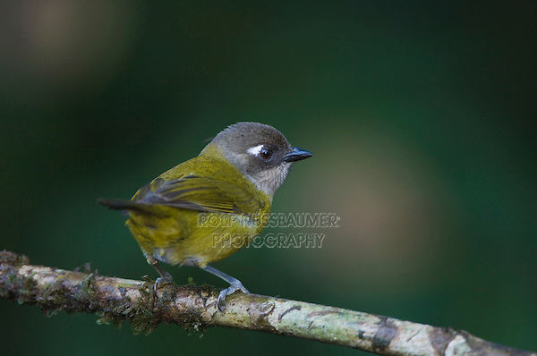 Common Bush-Tanager, Chlorospingus ophthalmicus, adult perched, Central Valley, Costa Rica, Central America
