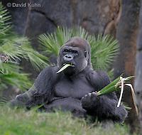 0210-08nn  Feeding Western Lowland Gorilla, Gorilla gorilla gorilla © David Kuhn/Dwight Kuhn Photography