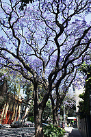 Jacarandas in full bloom on our street (Jalapa) in Roma Norte. Fourth move in six months after the September 19 2017 earthquake. From Roma Norte to the Edificios Condesa, Mexico City, Mexico