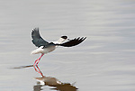Black Winged Stilt, Himantopus himantopus, Lesvos Island, Greece, Migrant summer visitor, wading in water, streteching wings, taking off, flying, in flight , lesbos