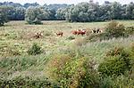 Herd of Hereford cattle grazing on summer meadow pasture floodplain of River Deben, Woodbridge, Suffolk, England, UK