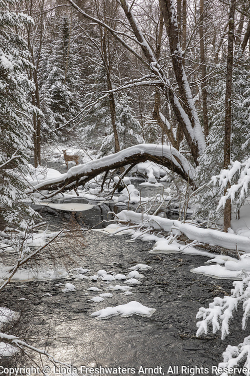 White-tailed deer walking in a winter creek in northern Wisconsin.