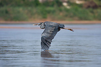 Madagascar heron in flight over the Tsiribihina river