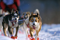 M Hall's Lead Dogs on Trail 99 Iditarod Anchorage AK
