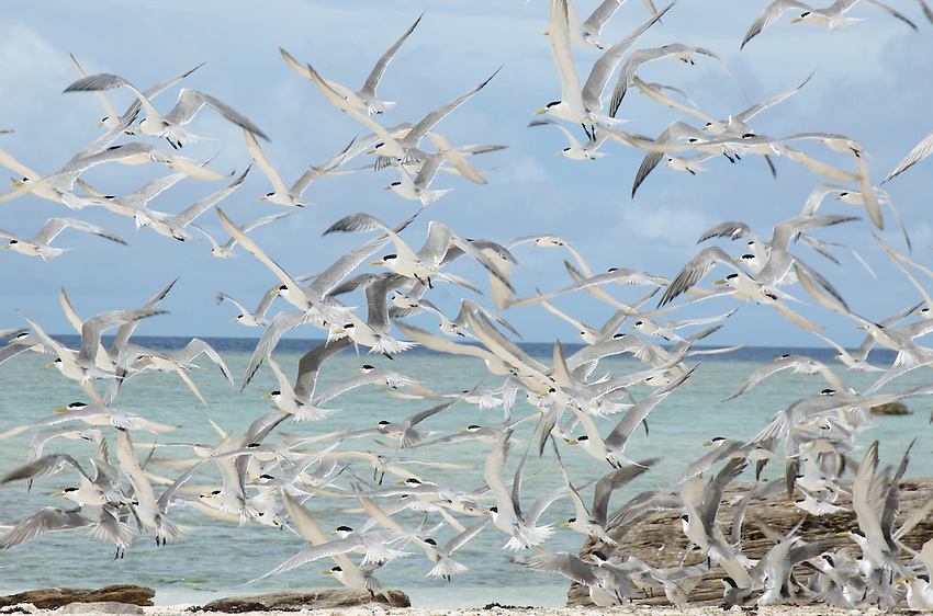 BIRDS TAKING OFF,SMALL SANDBANK IN THE PACIFIC BETWEEN CHUUK AND POHNPEI MICRONESIA