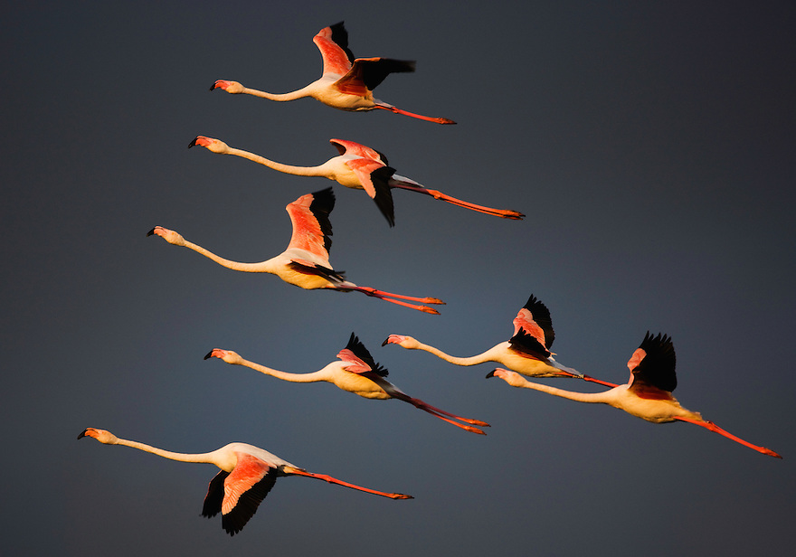 Greater Flamingos (Phoenicopterus roseus) in flight,  Camargue, France