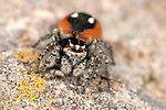 Jumping spider, Eresus sp Lesvos Greece Ladybird spider , lesbos