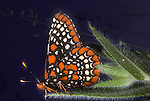 Baltimore Checkerspot Butterfly, Euphydryas phaeton