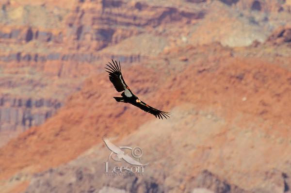 California Condor (Gymnogyps californianus) flying near the Vermillion Cliffs, eastern end of Grand Canyon National Park, Arizona.