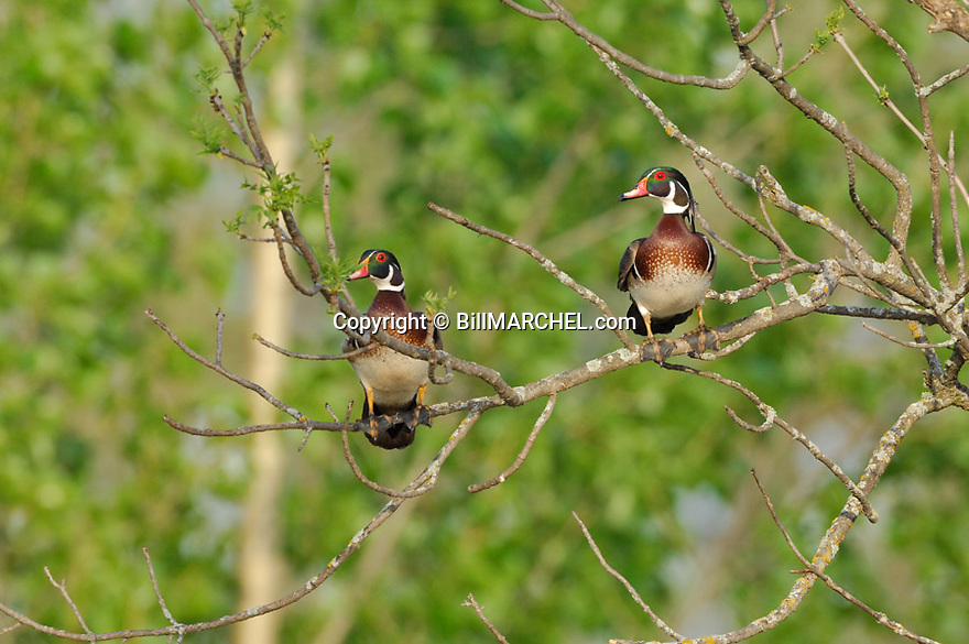00360-115.09 Wood Duck: Two drakes are perched in ash tree.  Hunt, waterfowl.