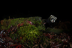 A wild European Polecat (Mustela putorius) visit's a small holding in the Berwyn's, north Wales and is photographed using a DSLR camera trap.