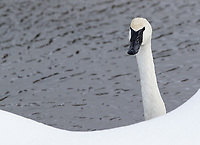 Trumpeter swans are found in greater numbers in Yellowstone's interior during winter.