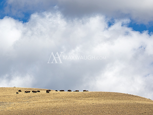 Bison roam the high hills above the Lamar Valley.