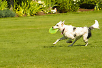Dog running with a frisbee in it's mouth