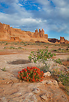 Arches National Park, UT <br /> Red paintbrush (Castilleja chromosa) blooming on the slickrock with the Three Gossips and Courthouse Towers in the distance.