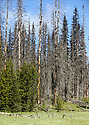 Landscape scenery at Blewett Pass, in the Wenatchee Mountains featuring tall fire-damaged trees in a meadow. Stock photography by Olympic Photo Group