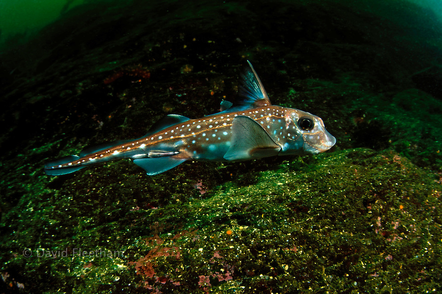 Ratfish, Hydrolagus collei, reach nearly one meter in length and are related to sharks.  British Columbia, Canada.