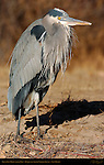 Great Blue Heron Alpha Male, Bosque del Apache Wildlife Refuge, New Mexico