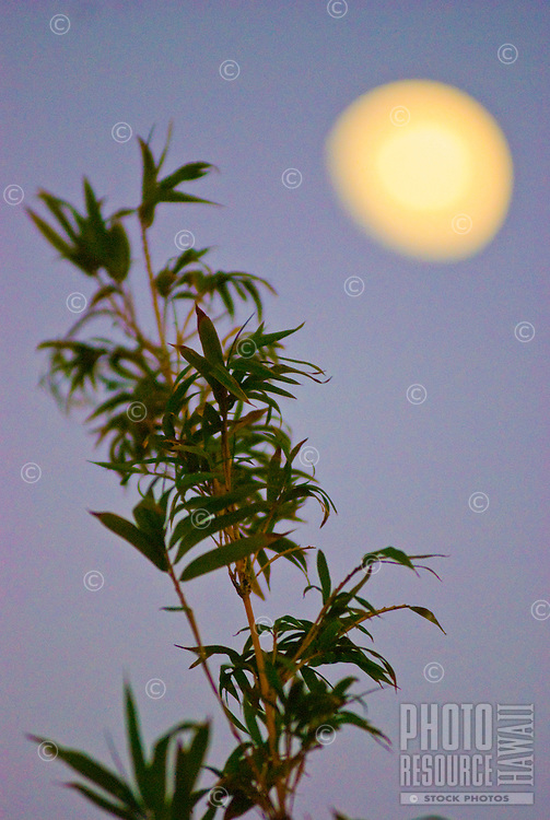 Wispy bamboo leaves and moonlight at dusk in Paia