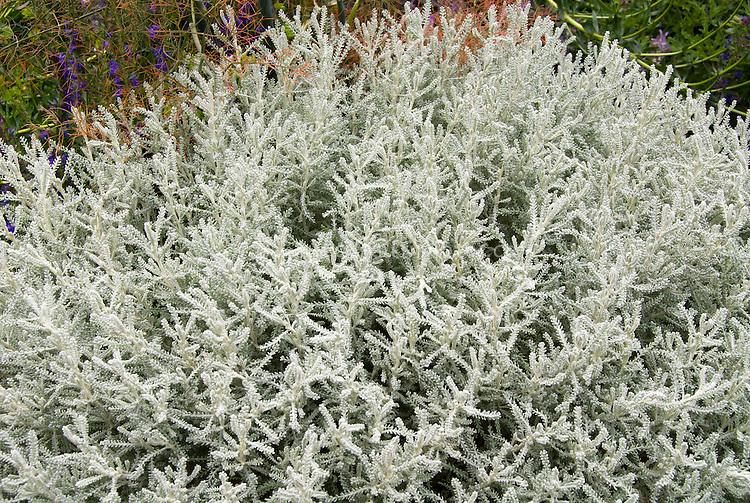 Santolina chamaecyparissus, fine gray silver groundcover perennial