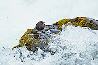 American dipper (Cinclus mexicanus) or water ouzel standing on rock along fast, flowing mountain stream.  Pacific NW.  June.  Note:  This image shows white feathers on the eyelids that cause the eyes to flash white as the bird blinks.