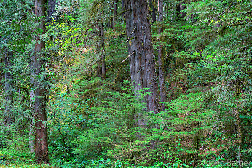 ORCAN_D215 - USA, Oregon, Mount Hood National Forest, Old growth coniferous forest with Douglas fir, western hemlock and western red cedar near the Clackamas River.