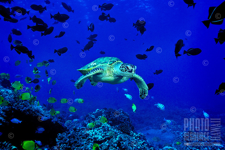 The endangered Green Sea Turtle ( Chelonia mydas ) is a common sight on Hawaii's coral reefs. Hawaiian name is ( Honu ).