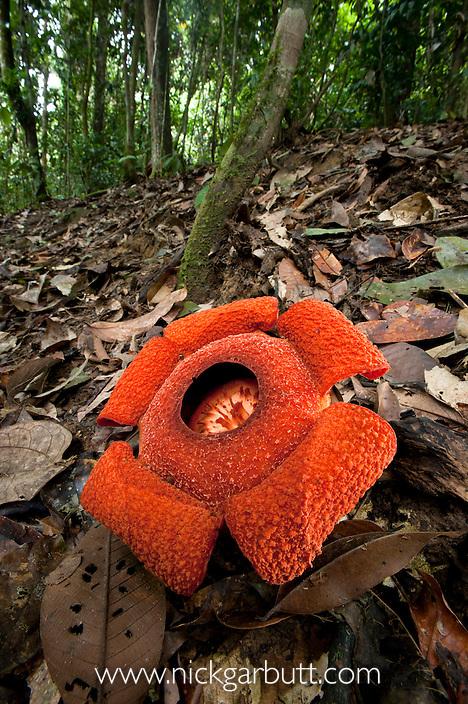 Flower of locally endemic Rafflesia (Rafflesia tengku-adlinii) (flower diameter 22cm) blooming on forest floor within lowland Dipterocarp rainforest. Maliau Basin. Sabah's 'Lost World', Borneo.