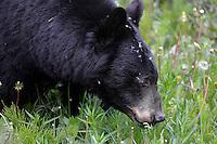 Black Bear - Ursus americanus. Jasper National Park, Canada.