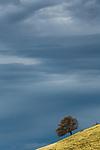 Oak (Quercus sp) tree and storm clouds, Del Valle Regional Park, California