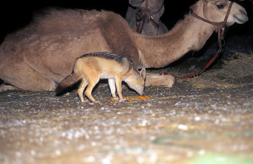 A  fearless jackal apporaches scraps of  food  left by Benedict Allen  during his journey through the  restricted  Diamond mining region of the  Namib Naukluft  desert as he travelled  on camels from South Africa to Angola, 1,700 miles. Skeleton Coast, Namibia..