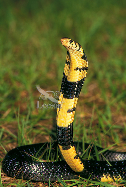 FOREST COBRA..Native to Central Africa, eastern South Africa & Angola..Captive. (Naja melanoleuca)