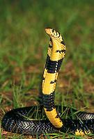 FOREST COBRA..Native to Central Africa, eastern South Africa & Angola..Captive. (Naja melanoleuca)