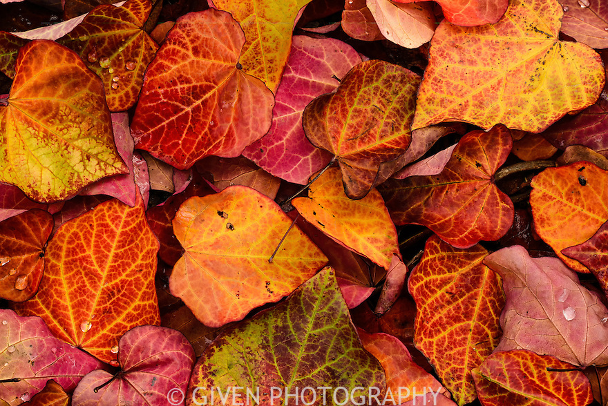 Redbud Leaves, Washington