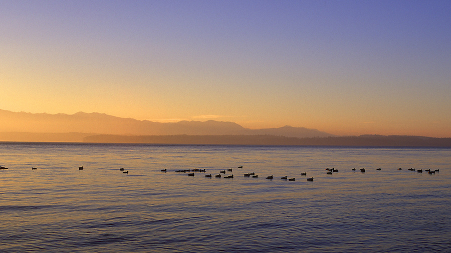 A flock of ducks swim along in Admiralty Inlet on Whidbey Island, Wa with the Olympic mountain range in the background.