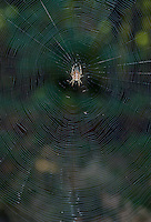 Common Garden Spider - Araneus diadematus. Orb web showing close spirals in extensive array.