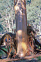 Blakely's Red Gum tree struck by lightning. Mulligan's Flat Nature Reserve,  Canberra, Australian Capital Territory. Fam: Apiaceae