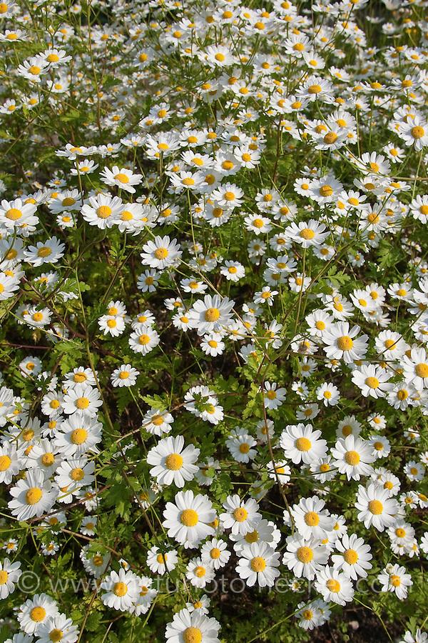 Mutterkraut, Tanacetum parthenium, Chrysanthemum parthenium, Feverfew