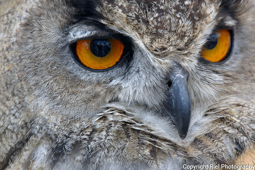 This Eurasian Eagle-Owl image was taken in northern Spain.