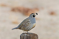 Male California Quail (Callipepla californica) sitting on fencepost, also known as the California Valley Quail or Valley Quail.  California.  Late winter-early spring.