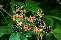 Echte Brombeere, Früchte, Rubus fruticosus agg., Rubus sectio Rubus, blackberry, bramble