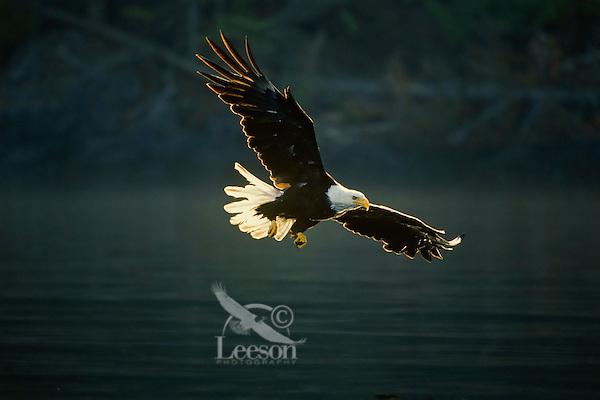 Bald eagle (Haliaeetus leucocephalus) flying.