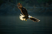 Bald eagle (Haliaeetus leucocephalus) flying.