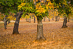Green and golden leaves on English walnut trees, Cooper Ranch, autumn evening, Shenandoah Valley, Calif.