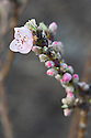 Buds and emerging blossom  of peach 'Bonanza', early March.