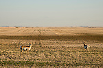 Two Pronghorn Antelope in the fields near Burstall, Saskatchewan. The proposed Energy East pipeline runs from Alberta to Saint John, New Brunswick and passes through Burstall, Saskatchewan.  (Credit: Robert van Waarden - http://alongthepipeline.com)