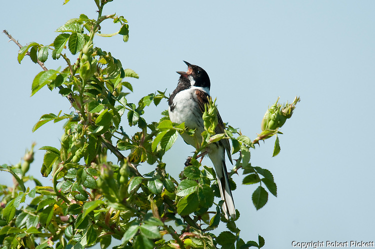 Reed Bunting, Emberiza schoeniclus, Male, Elmley Marshes, Kent, UK, singing, calling perched on branch
